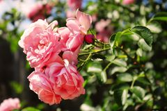 Delicate pink roses on the bush Royalty Free Stock Images