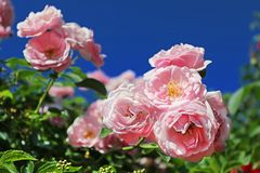 Delicate pink roses on the bush Stock Photos