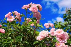 Delicate pink roses on the bush Royalty Free Stock Photography