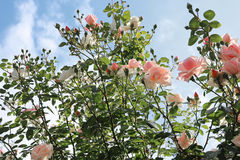 Delicate pink roses on the bush Stock Image
