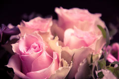 Delicate pink roses closeup Royalty Free Stock Image