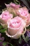 Delicate pink roses closeup Stock Image