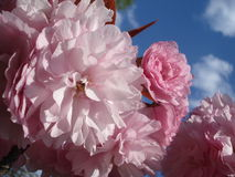Delicate pink sakura blossoms Royalty Free Stock Images