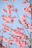 Delicate pink spring flowers Stock Photography