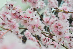 Delicate pink spring flowers Stock Images