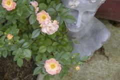 Delicate pink tea roses in front of grungy but elegant grecian head planter - selective focus on roses stock photos