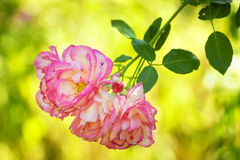 Delicate pink tea roses in nature. Sunny day Stock Photos