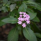 Delicate Pink Tropical Flowers with Green Foliage. Delicate pink tropical flowers in clusters with beautiful green foliage.  The blossoms have a star like effect royalty free stock photo