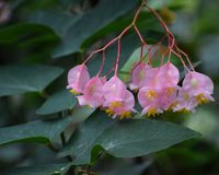 Delicate Pink Tropical Flowers Hanging in Clusters. With yellow centers and fushia colored stems royalty free stock image
