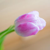 Delicate pink tulip on soft background Stock Photo