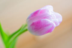 Delicate pink tulip on soft background Stock Image