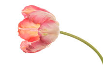 Delicate pink tulip on a white background Stock Photo