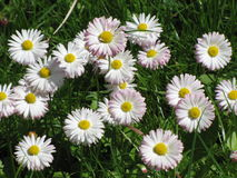 Delicate pink and white daisies Stock Image