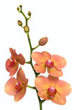 Delicate pink and yellow orchid Royalty Free Stock Image