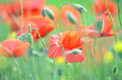Delicate poppy seed flowers on a field Stock Photography