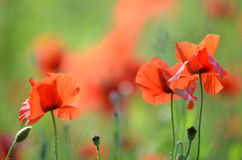 Delicate poppy seed flowers on a field royalty free stock photos