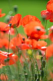 Delicate poppy seed flowers on a field Stock Photos