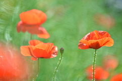 Delicate poppy seed flowers on a field Stock Images