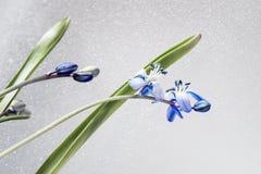 Delicate primroses with water drops, on light background. Scilla siberica, Siberian squill. Delicate primroses with water drops, on a light background. Scilla Stock Photos
