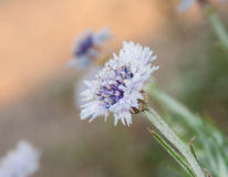 Delicate purple and blue Corn flower Stock Photography