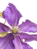 Delicate purple clematis Stock Photos