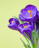 Delicate purple crocuses on a green background Royalty Free Stock Photo
