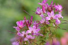 Delicate purple flower. In full Bloom in the garden stock photo