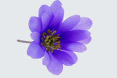 Delicate purple flower Royalty Free Stock Photography