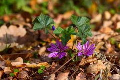 Delicate purple flower of autumn leaves. Royalty Free Stock Image