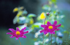 Delicate Purple Flowers. A pair of delicate purple flowers royalty free stock photos