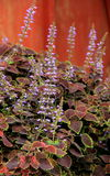 Delicate purple flowers of beautiful Coleus plants Stock Photography