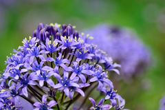 Delicate purple flowers in bloom. Close up of delicate purple flowers with a green background Royalty Free Stock Photos