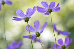 Delicate purple flowers in the field. Soft selective focus. Delicate purple flowers in the field. Soft selective focus Royalty Free Stock Photo