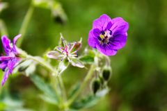Delicate purple flowers of forest geranium stock images