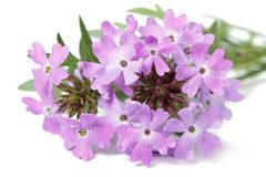 Delicate purple flowers verbena isolated. On white background closeup Stock Photo