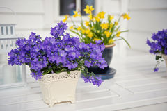 Delicate purple flowers verbena on table. Outside. Royalty Free Stock Images