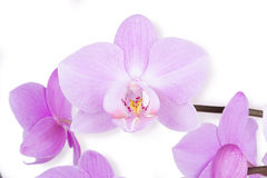 Delicate purple orchid Stock Photos