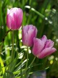 Delicate purple tulips in the realistic garden Stock Image