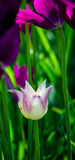 Delicate purple tulips Stock Images