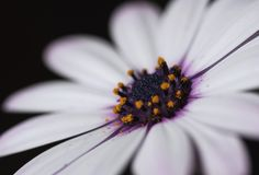 Delicate purple and white flower. Beautiful and delicate white petals surrounding the purple and yellow center of the flower Stock Photos