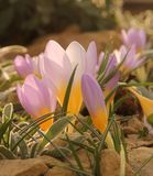 Delicate Purple and Yellow Crocus Flower Stock Image