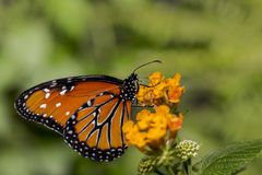 Delicate Queen. An orange Queen Butterfly resting on orange blossoms Royalty Free Stock Photo