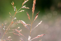 Delicate red grass flowers softly focused stock image