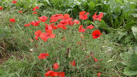 Delicate Red Poppies stock video footage