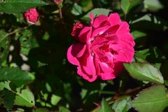 Delicate Red Rose Flower Bloom. Display royalty free stock photo