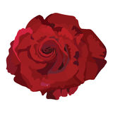 Delicate Red Rose isolated Stock Image