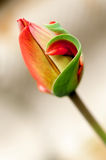 Delicate red tulip Royalty Free Stock Images