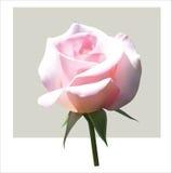 Delicate rose. Delicate pink rose on grey background. Vector illustration Stock Images