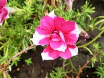 Delicate rose flower. In the garden Stock Photography