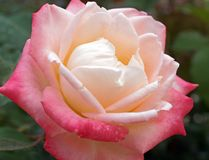 Delicate Rose With Pale Pink and Yellow Petals. A beautiful delicate rose growing in a home garden, with subtle pink and yellow petals stock images